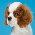 可爱西班牙小猎犬主题 免费版