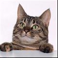 可爱猫咪PPT模板 免费版
