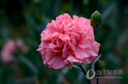 浅红色康乃馨