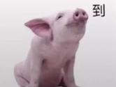 抖音猪报道图片分享 高清大图等你来保存