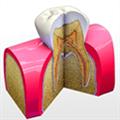 Tooth Anatomy(牙齿解剖医学软件) V1.0 Mac版